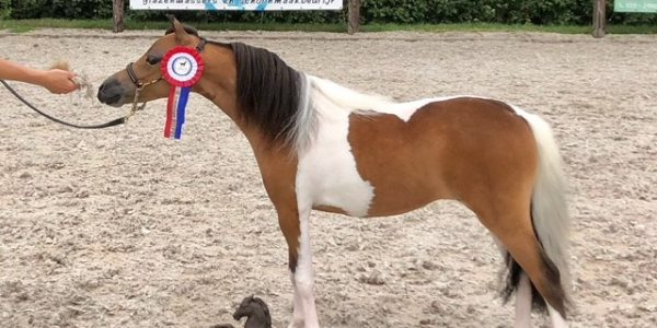 Such a succesfull day at the studbook inspection of the one and two year olds of the NMPRS